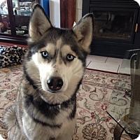 Adopt A Pet :: Nikita - Rigaud, QC