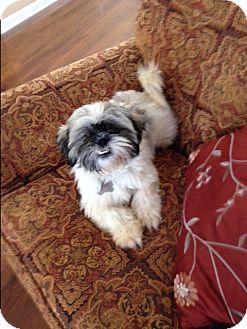 Shih Tzu Dog for adoption in Rochester, New York - Princess