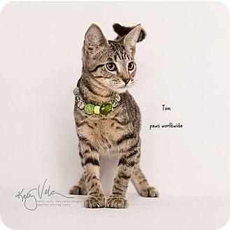 Domestic Shorthair Kitten for adoption in Corona, California - TOM