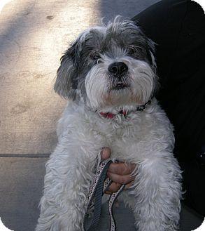 Lhasa Apso Mix Dog for adoption in Las Vegas, Nevada - Rusty