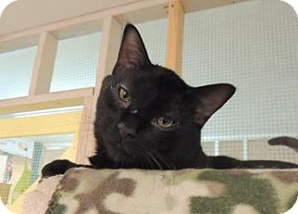 Domestic Shorthair Cat for adoption in Westville, Indiana - Cubby