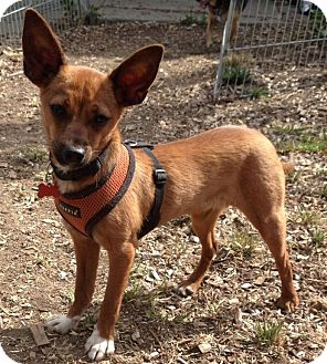 Chihuahua Mix Dog for adoption in Hollister, California - Roo