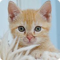 Adopt A Pet :: Apricot - Reston, VA