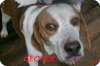 Beagle Dog for adoption in Ventnor City, New Jersey - GEORGE