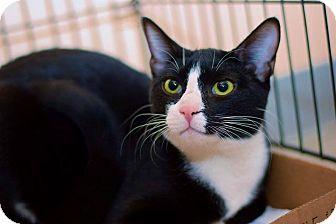 Domestic Shorthair Cat for adoption in East Brunswick, New Jersey - Luke