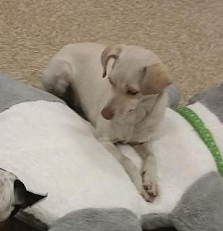 Chihuahua/Terrier (Unknown Type, Medium) Mix Dog for adoption in Longview, Washington - STELLA