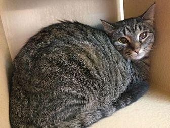 Domestic Shorthair Cat for adoption in Avon, Ohio - Faith