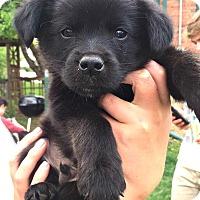 Adopt A Pet :: Zobel - Boulder, CO