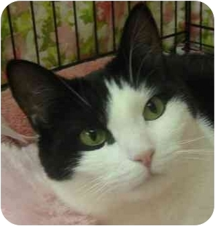 Domestic Shorthair Cat for adoption in Plainview, New York - Cloey