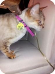 Bengal Cat for adoption in Columbus, Ohio - Zoey