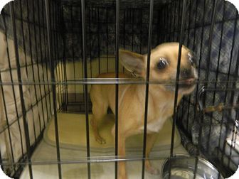 Chihuahua Dog for adoption in Rockaway, New Jersey - Picaboo