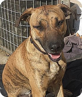 Labrador Retriever/Terrier (Unknown Type, Medium) Mix Dog for adoption in Monrovia, California - Chompers