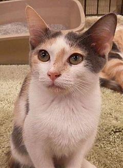 Calico Cat for adoption in Hallandale, Florida - Hannah