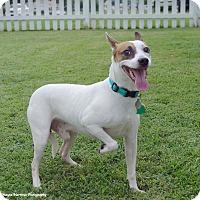 Adopt A Pet :: Braxton - Knoxville, TN