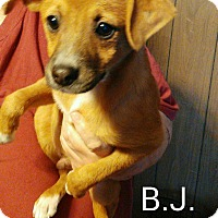 Adopt A Pet :: BJ - Burlington, VT