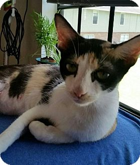 Domestic Shorthair Cat for adoption in Tampa, Florida - Helen