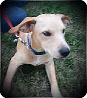 Beagle/Terrier (Unknown Type, Small) Mix Puppy for adoption in Columbus, Ohio - Laser
