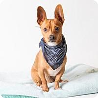 Chihuahua Dog for adoption in Sacramento, California - *PUCK