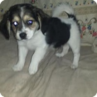 Adopt A Pet :: Melody - Iroquois, IL