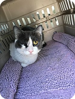 Domestic Shorthair Cat for adoption in Palm Springs, California - Paddington