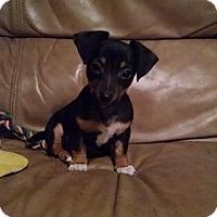 Adopt A Pet :: Valentine - Great Falls, VA