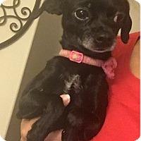 Adopt A Pet :: Spade - Chandler, AZ