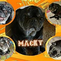 Adopt A Pet :: Macky - Walled Lake, MI