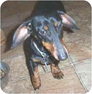 Dachshund Dog for adoption in Lawndale, North Carolina - Hootie