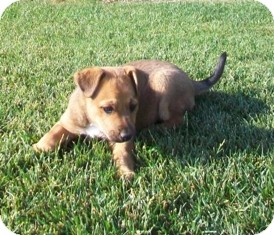 Shepherd (Unknown Type)/Labrador Retriever Mix Puppy for adoption in Tustin, California - Marty