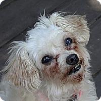 Adopt A Pet :: Minnie - Shawnee Mission, KS
