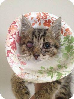 Domestic Shorthair Kitten for adoption in Henderson, North Carolina - Hess