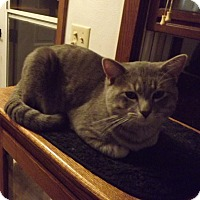Domestic Shorthair Cat for adoption in Owatonna, Minnesota - Don