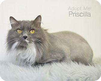 Domestic Longhair Cat for adoption in West Des Moines, Iowa - Priscilla