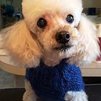 Adopt A Pet :: Snow - Dover, MA