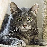 Domestic Shorthair Cat for adoption in Columbus, Ohio - Lady Elaine