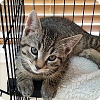 Adopt A Pet :: Sakima (Medford Lakes Kitten) - Medford, NJ