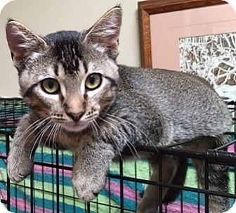 Domestic Shorthair Cat for adoption in Buhl, Idaho - Macks