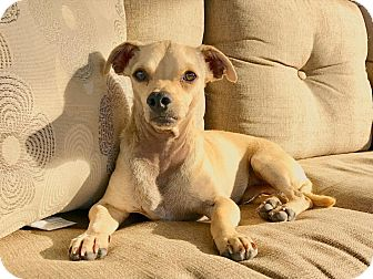 Chihuahua Mix Dog for adoption in San Diego, California - Stretch