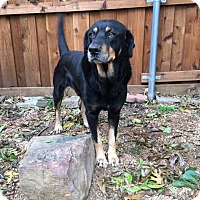 Rottweiler Dog for adoption in Fort Worth, Texas - Forrest