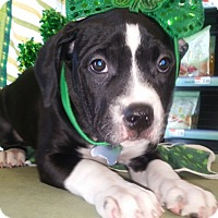 Adopt A Pet :: Caroline - Detroit, MI