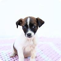 Adopt A Pet :: Snoopy - Auburn, CA