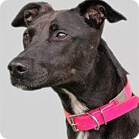 Adopt A Pet :: Mallory, magical lab mix! - Snohomish, WA