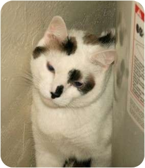 Domestic Shorthair Cat for adoption in Scottsdale, Arizona - Patches