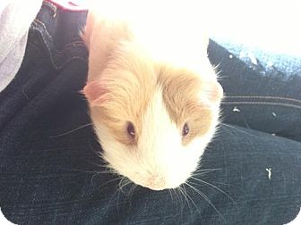 Guinea Pig for adoption in Fullerton, California - Lisa