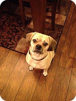 Pug/Beagle Mix Dog for adoption in La Crosse, Wisconsin - Jaxon
