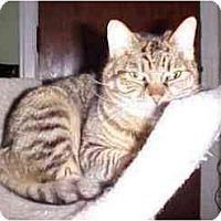 Adopt A Pet :: Port Port (Lap Cat!) - Portland, OR