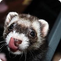 Adopt A Pet :: Pumpkin - Chantilly, VA