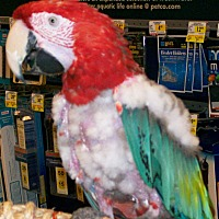 Macaw for adoption in Lenexa, Kansas - Gerri
