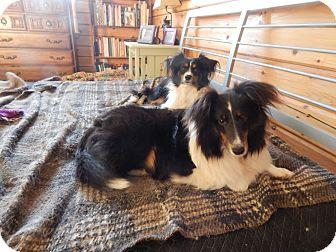 Sheltie, Shetland Sheepdog Dog for adoption in Alderson, West Virginia - Chatter
