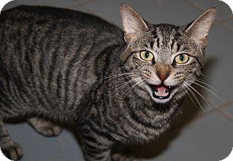 Domestic Shorthair Cat for adoption in Marietta, Ohio - Justin (Neutered)